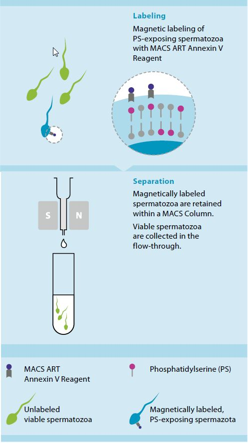 Sperm selection kit figure 2 isolation of ps exposing cells using the macs art annexin v system ccuart Choice Image